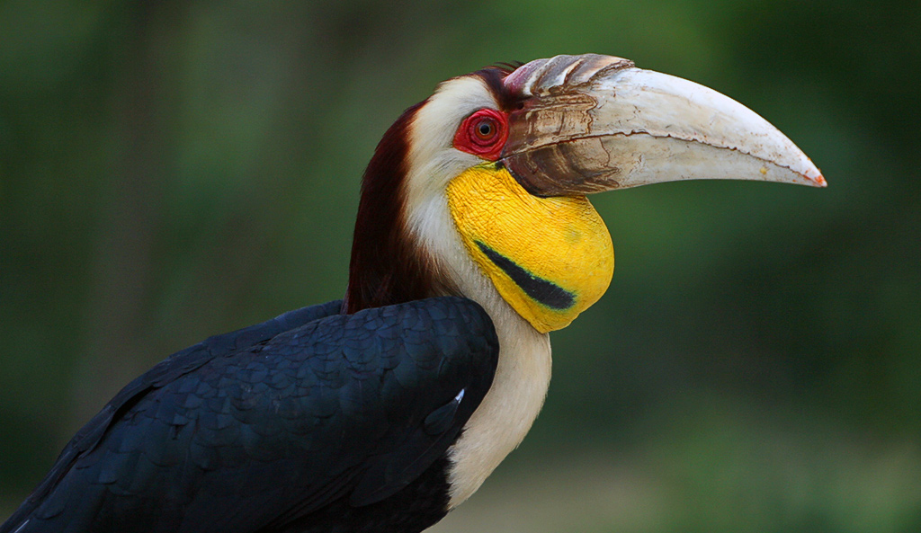 Wreathed Hornbill Photogallery - fauna